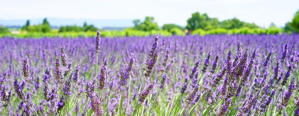 lavendar-fields-banner